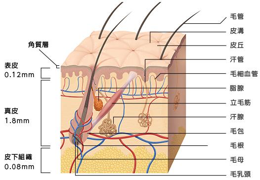 「皮膚構造図」の画像検索結果