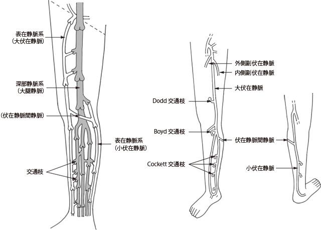 Images of 下肢の静脈 - JapaneseClass.jp